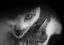 CAT LÉCHANT SA LÈVRE TOUT EN REGARDANT L'APPAREIL-PHOTO Images stock