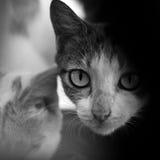 CAT LÉCHANT SA LÈVRE TOUT EN REGARDANT L'APPAREIL-PHOTO Images libres de droits
