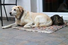 Cat and labrador retriever Stock Photos