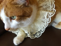 Cat with lace collar Stock Image