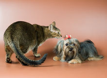 Cat and lap-dog in studio Royalty Free Stock Image