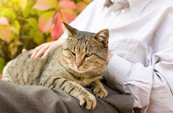 Cat in lap Stock Photos