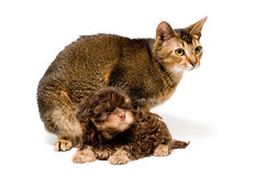 Cat and lapdog in studio Stock Image