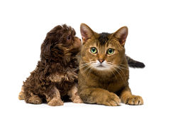 Cat and lapdog in studio. On a neutral background Stock Photo