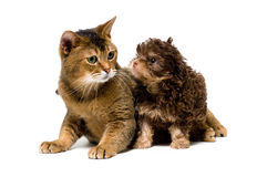 Cat and lapdog in studio Royalty Free Stock Photography
