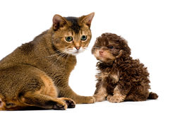 Cat and lapdog in studio Stock Images