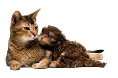 Cat and lapdog in studio. On a neutral background Stock Photography
