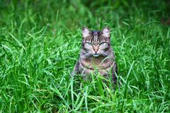 The cat in the green grass. Royalty Free Stock Photography