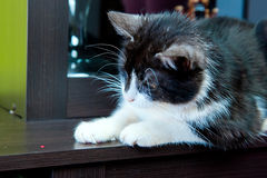 Cat and laser dot Royalty Free Stock Images
