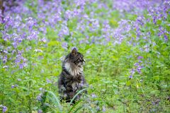 Cat in lavender field. A moggy cat in a lavender field in spring Stock Photos