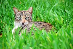 Cat on the lawn Royalty Free Stock Image