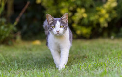 Cat on Lawn royalty free stock images