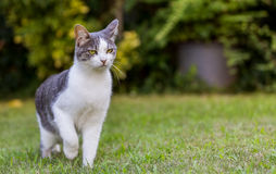 Cat on Lawn stock photography