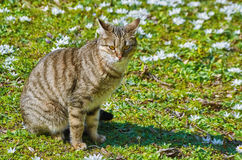 Cat on the Lawn. Among the White Flowers Royalty Free Stock Photo