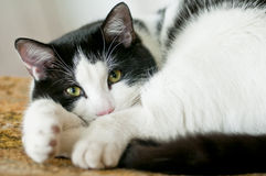 Cat lay on a chair. Cute black and white cat lay on a chair Royalty Free Stock Photo