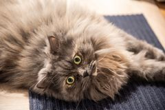 Cat laying on a carpet. Gray Siberian cat with yellow eyes looking at the camera royalty free stock images