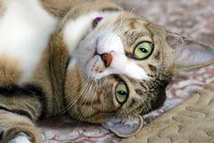 Cat Laying Close-Up Royalty Free Stock Photos