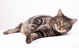 Cat laying down. On white Stock Photos