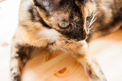 Cat is laying down. Stock Images
