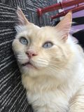 Cat Laying Eyed azul para baixo Fotografia de Stock Royalty Free