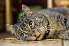 Cat laying on the floor Royalty Free Stock Images