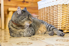 Cat laying on the floor Royalty Free Stock Photos