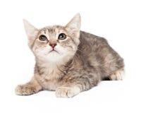 Cat Laying Gazes Upward joven gris y blanca fotografía de archivo libre de regalías