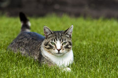 Cat laying in Grass. Royalty Free Stock Photography