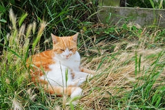 Cat laying in grass. A sleepy cat laying in the grass stock photo