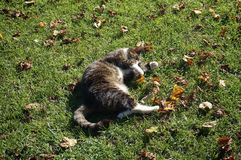 Cat. Laying on grass Stock Images