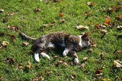 Cat. Laying on grass Stock Image