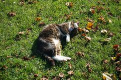 Cat. Laying on grass Royalty Free Stock Images