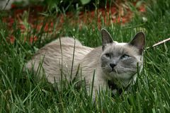 Cat Laying in Grass. Blue Point siamese cat laying in the grass at a park Stock Photo
