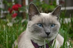 Cat Laying in Grass. Blue point siamese cat laying in the grass at a park Stock Photos