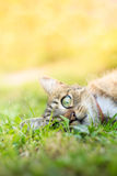 Cat laying in grass Stock Photography