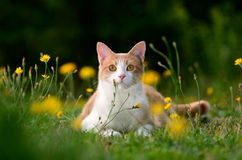 Cat lying in grass Stock Images