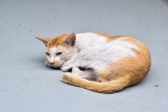 The cat is laying on a gray carpet royalty free stock photography