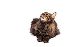 Cat Laying Looking Up With Copyspace Royalty Free Stock Photography