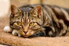 Tabby cat laying on mat Stock Photo