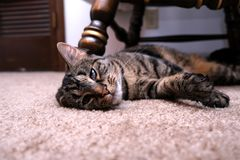 Cat Laying met Bent Ear stock foto