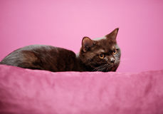 Cat laying on the pillow. British cat laying on the pillow stock photo