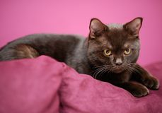 Cat laying on the pillow. British cat laying on the pillow royalty free stock photo