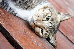 Cat laying Stock Photography