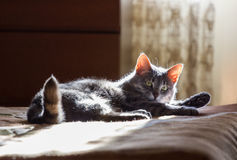 The cat lays on a bed. The grey cat lays on a bed in solar beams Royalty Free Stock Photos