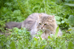 Cat lays on a grass. Cat lays on a green grass Royalty Free Stock Image