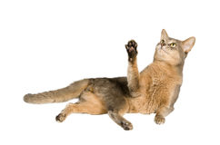 Cat lays while playing stock photography