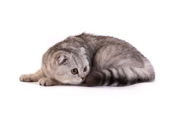 Cat lays on a white background Stock Images