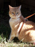 Cat on Leash. A Domestic Short Hair house cat taken outside by leash and harness Stock Photography