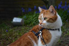 Cat on a leash Stock Photo