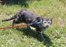 Cat on a Leash Royalty Free Stock Images